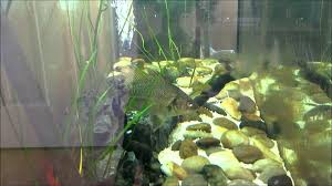 australian native aquatic plants australian bass macquaria novemaculeata feeding on pellets in