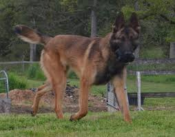 belgian shepherd herding available dogs u2014 belgian malinois