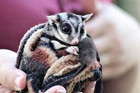 sugar gliders archives page 3 of 7 petcha