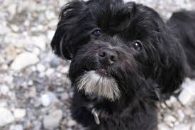 affenpinscher hawaii havanese breed information and pictures on puppyfinder com