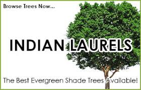 evergreen trees for sale buy evergreen trees