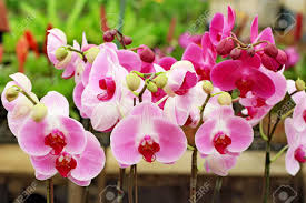 orchids flowers pink and phalaenopsis orchids flowers blooming in orchid