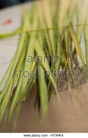 palms for palm sunday palm sunday catholic mass stock photos palm sunday catholic mass