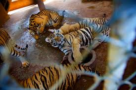 white tiger home decor exclusive tiger temple accused of supplying black market