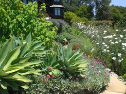 outdoor u0026 landscaping chic agave attenuata for garden decoration