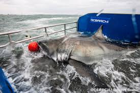Shark Map Of The World by Scientists Track A Great White Shark Across The Atlantic For The