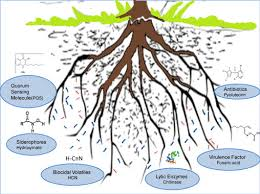 Plant Disease Control Methods - role of allelochemicals in plant growth promoting rhizobacteria