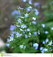 forget me not small flowers in the garden stock image image of
