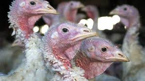 bird flu creates turkey shortage rebound expected by thanksgiving