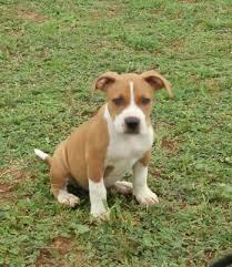 american pitbull terrier in bangalore xxl quality american pitbull puppies bangalore