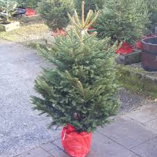 potted spruce tree quality trees fast uk delivery