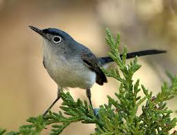 Utah birds images Utah bird profile blue gray gnatcatcher jpg