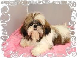 shih poo haircuts 9 best shih poo hair cuts images on pinterest doggies shih tzus