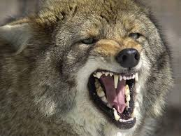 Vermont wild animals images Howlin 39 at the moon vermont 39 s coyotes vermont public radio jpg