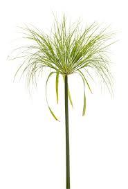 native plants of egypt graceful grasses king tut egyptian papyrus cyperus papyrus