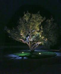 Tree Lights Landscape by This Ca Pepper Tree Has Up Lighting And Moon Lighting Up Lights