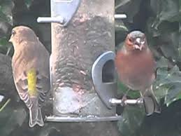greenfinch and chaffinch two finches eating black sunflower