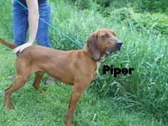bluetick coonhound west virginia virginia jethro is a 4yo blue tick coonhound who loves to run