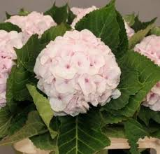 pink hydrangea hydrangea light pink qty 30 4 75 new york flower