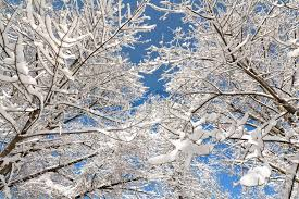 a snowy winter looking up at snow covered trees
