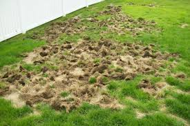 How To Get Rid Of A Skunk In Your Backyard Lawn Grubs How To Identify Get Rid Of And Prevent Them Dengarden