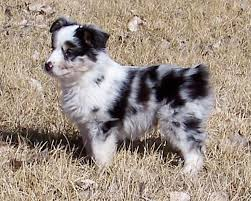 australian shepherd 14 weeks prairie hill morgans our australian shepherds