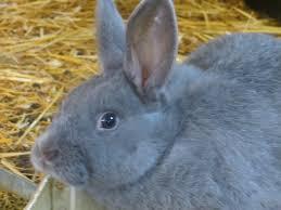 silver fox rabbit colony emancipation acres