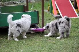 australian shepherd mit 6 monaten crazyborder 2 teddy x mia