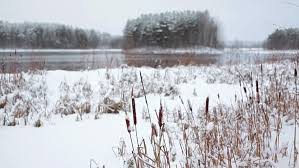 forest lake shore with covered with snow reed at winter season
