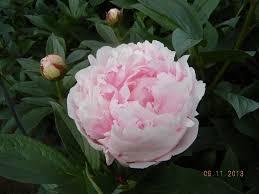 mayesh wholesale florist peonies