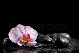 black orchid flower orchid flower with zen stones on black background stock photo