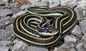 western ribbon snake project noah