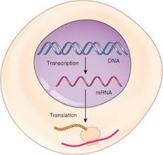 role of mrna in protein synthesis video u0026 lesson transcript