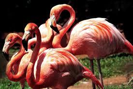 american flamingo honolulu zoo