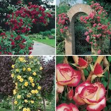 Fragrant Climbing Plants - roses saga garden centre