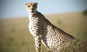 87 ideas cheetah pictures to print on kitchenstyleraiso us