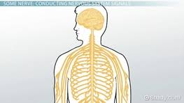 afferent division of the peripheral nervous system video
