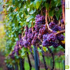 vineyard with vines stock photo image 83541531