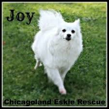 care for american eskimo dog 66 best american eskimo dog images on pinterest american eskimo