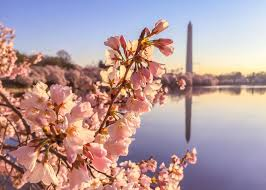 my love affair with the cherry blossoms in dc