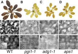 starch biosynthesis in guard cells but not in mesophyll cells is