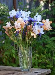Vase With Irises Bearded Iris Bearded Iris Care Reblooming Iris