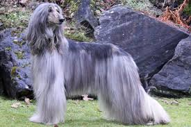 afghan hound poodle cross afghan hound puppies for sale from reputable dog breeders