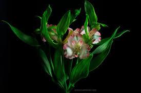 alstroemeria flower alstroemeria flower on background foodfulife