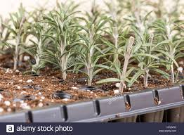 propagating rosemary small plants in plastic nursery stock