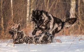 white wolf timing photos a encounter with a