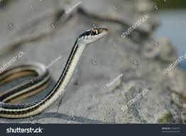 western ribbon unique image western ribbon snake stock photo 57466279