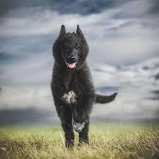 belgian sheepdog calendar belgian shepherds wolf shadow photography fine art animal