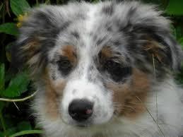 australian shepherd puppy training balanced obedience dog and puppy training on oahu hawaii videos