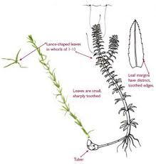 plants native to new york species profile hydrilla verticillata nys parks boat stewards